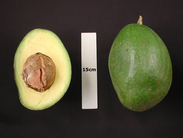 Choquette - Avocado